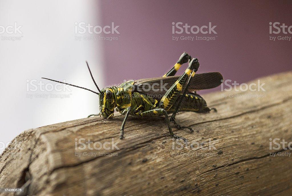 Grasshoper on wood log royalty-free stock photo