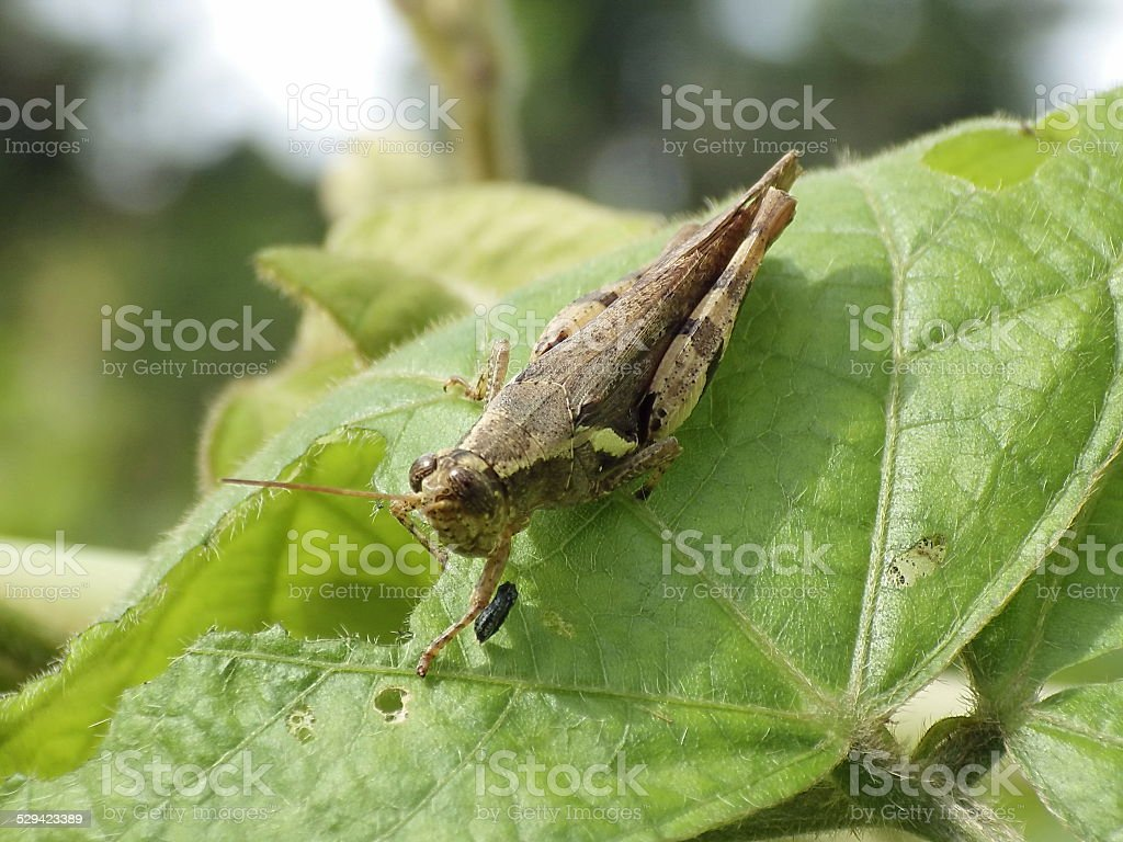 grasshoper stock photo
