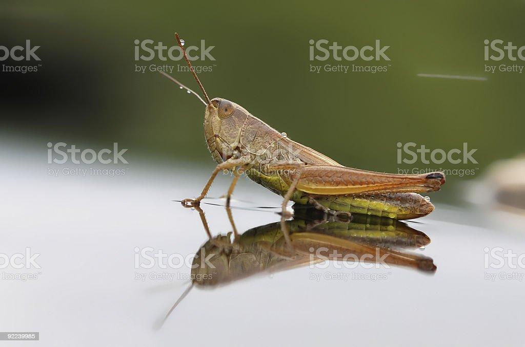 Grasshoper royalty-free stock photo