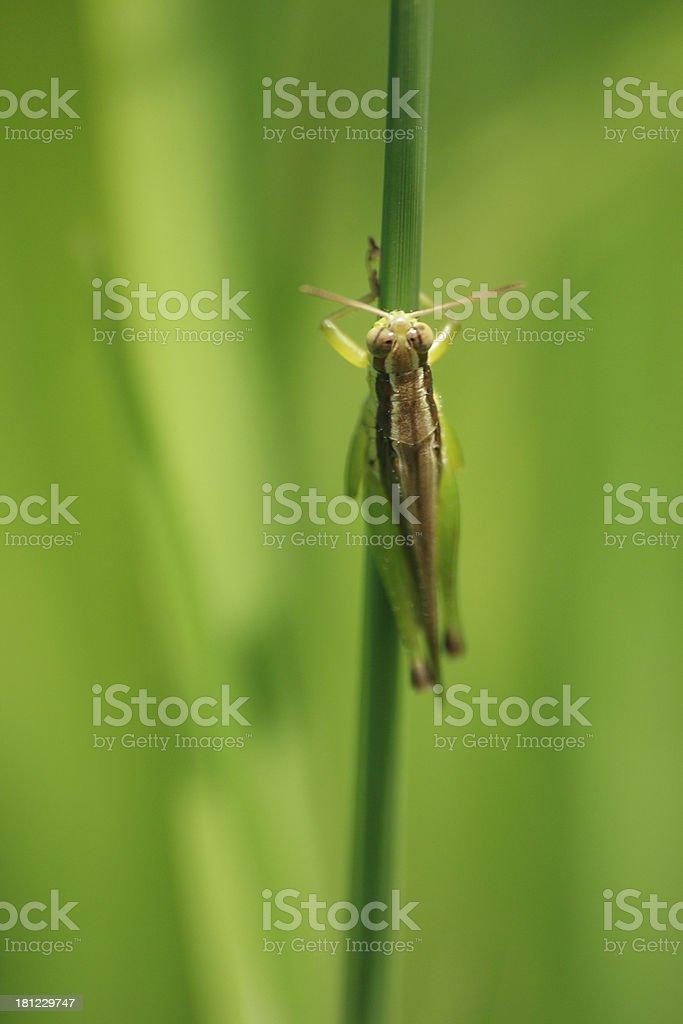 Grasshopper 05 royalty-free stock photo