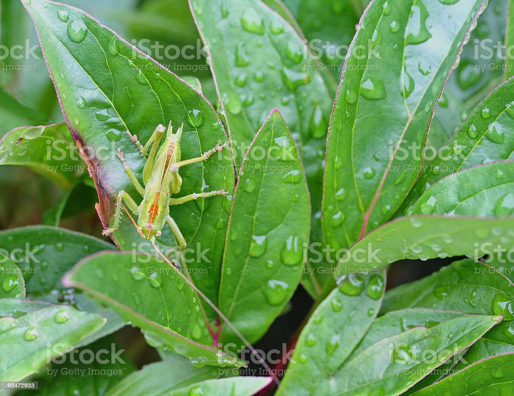 Grasshopper after the rain royalty-free stock photo