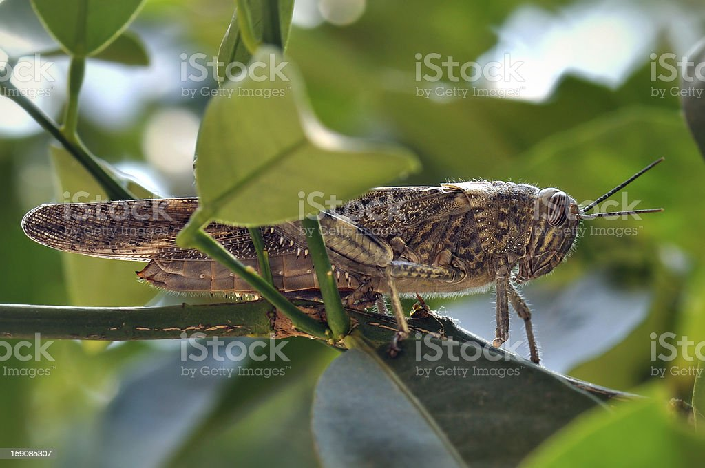 grasshopper among leaves royalty-free stock photo