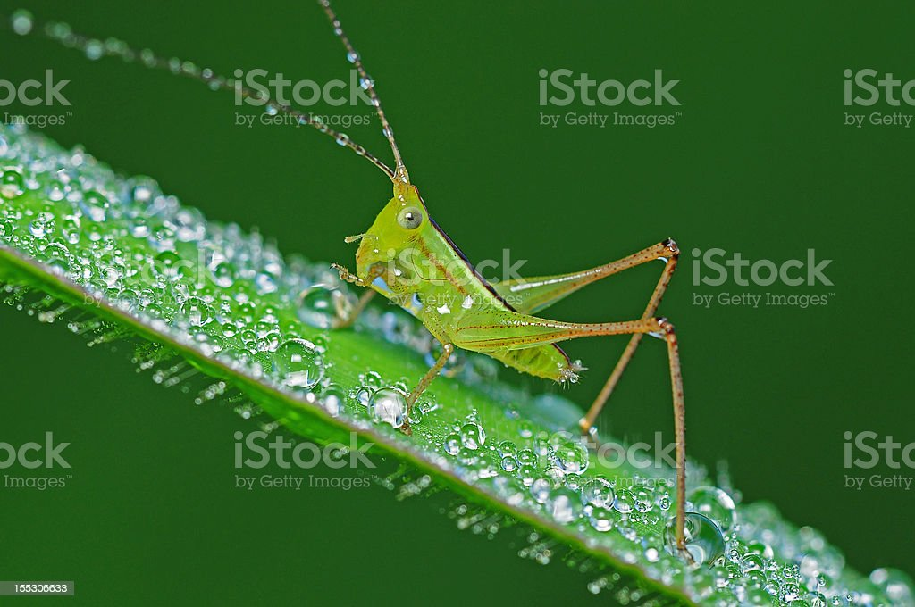 grasshopper and dew in the parks royalty-free stock photo