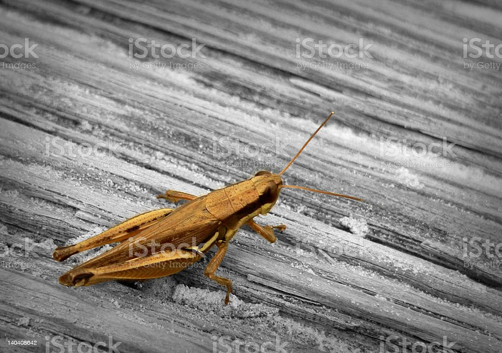 Grasshopper and wood royalty-free stock photo