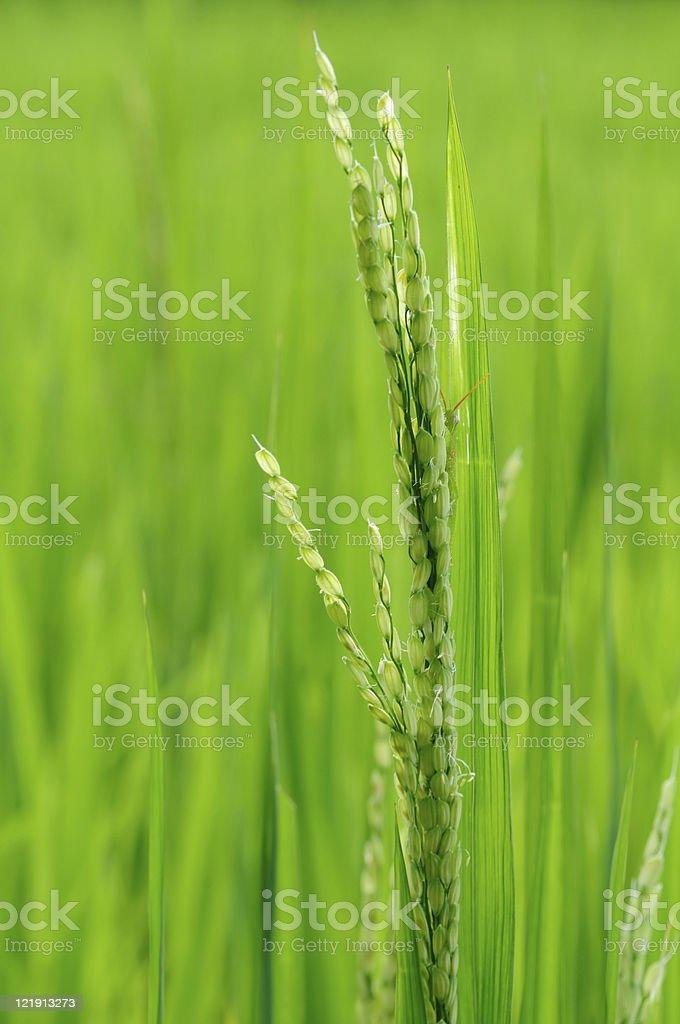 Grasshopper behide green rice. stock photo
