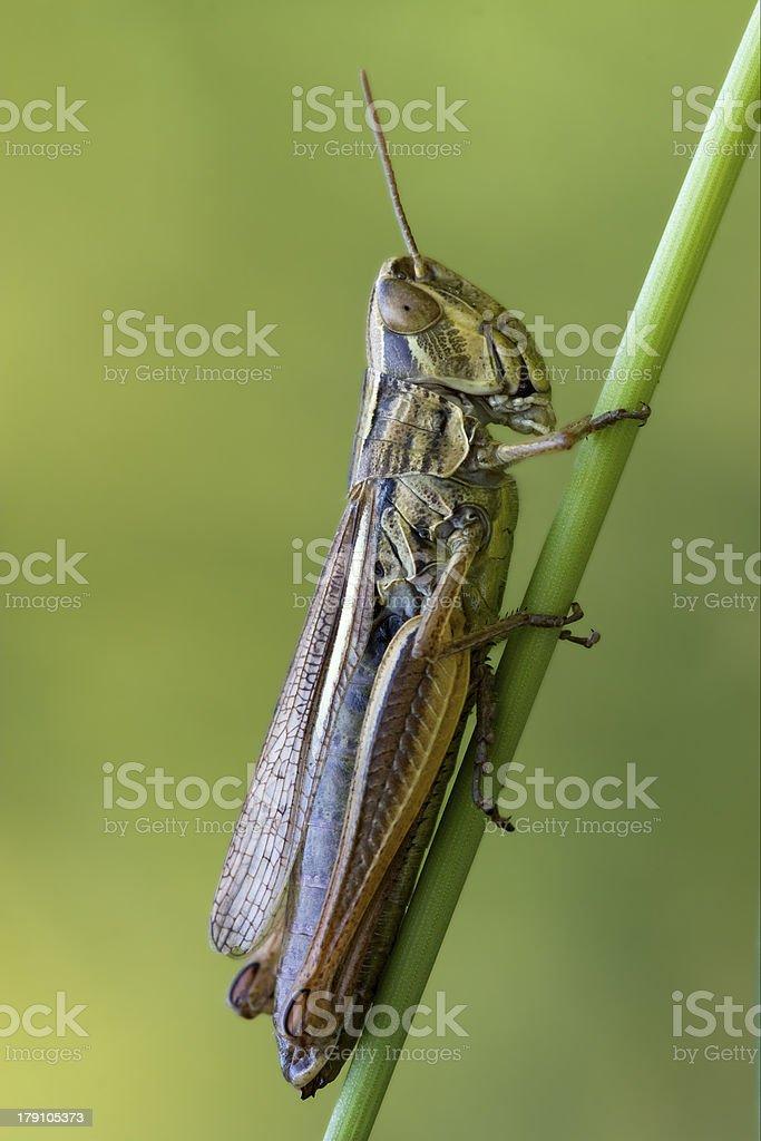 grasshopper chorthippus royalty-free stock photo