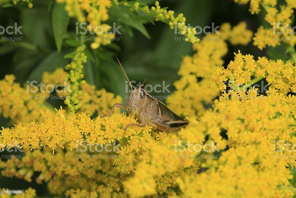 Grasshopper close up on Goldenrod. royalty-free stock photo