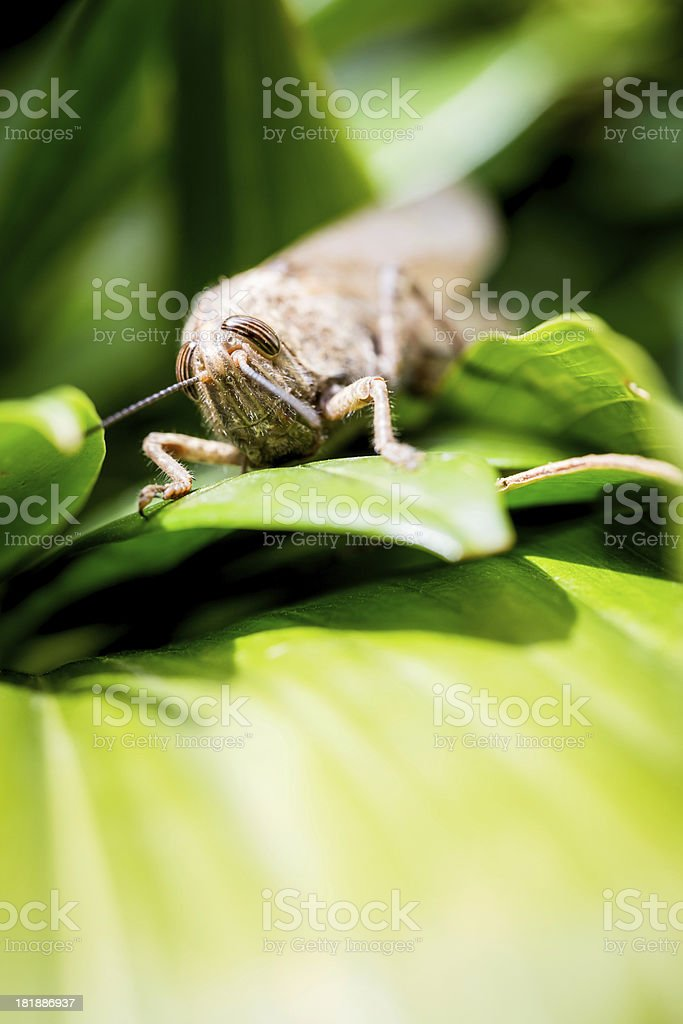 Grasshopper Closeup royalty-free stock photo