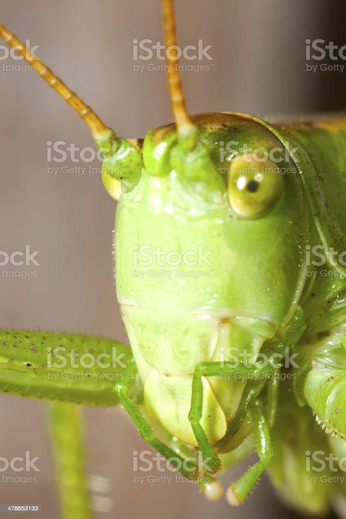Grasshopper close-up stock photo