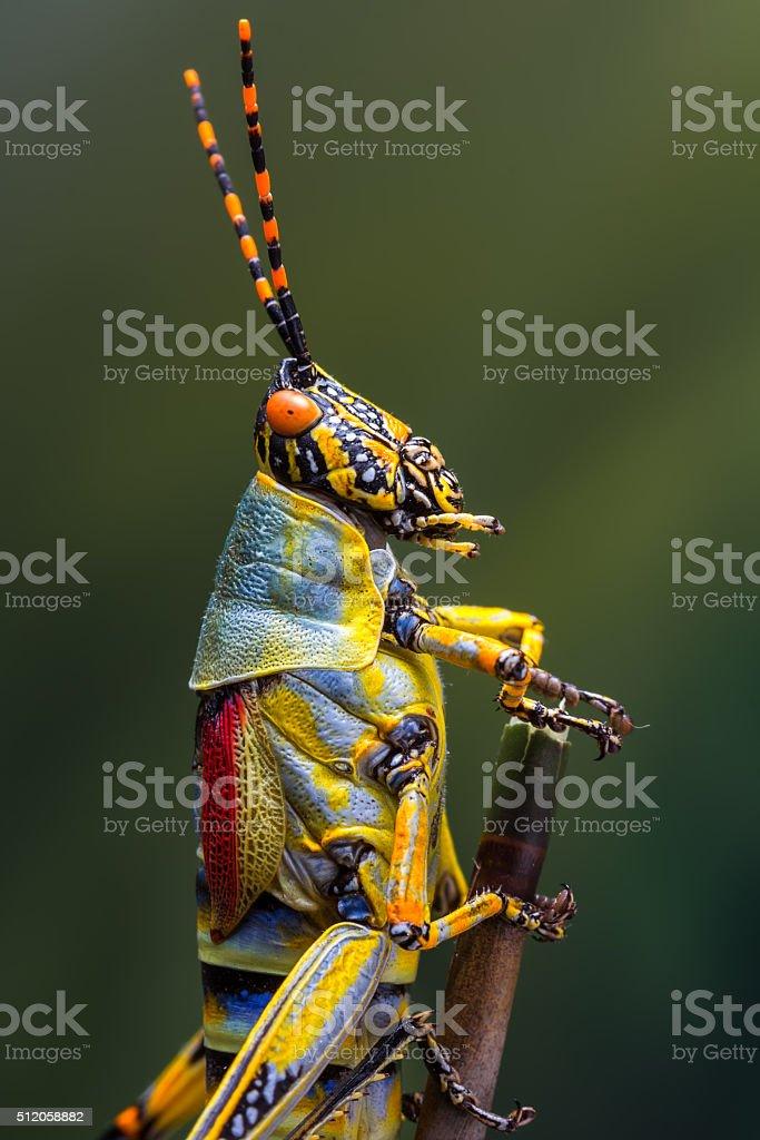 Grasshopper detail stock photo