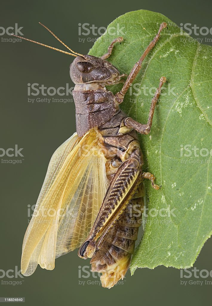 Grasshopper drying wings royalty-free stock photo
