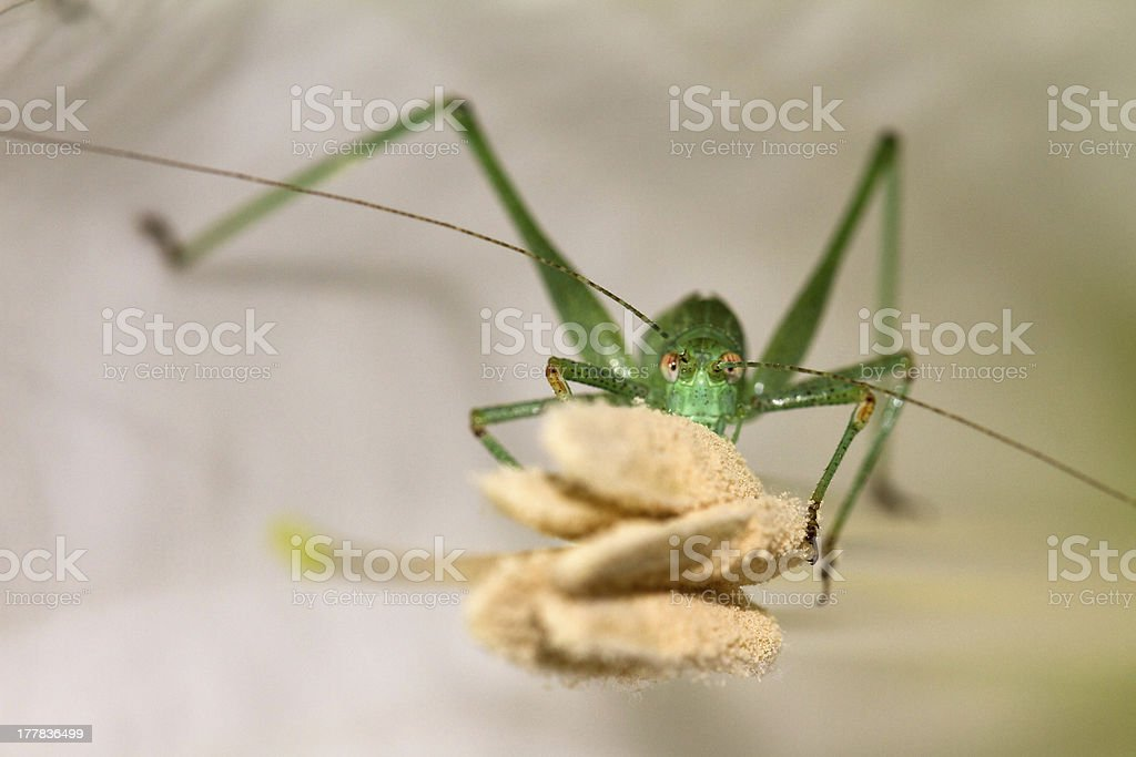 Grasshopper eating a flower royalty-free stock photo