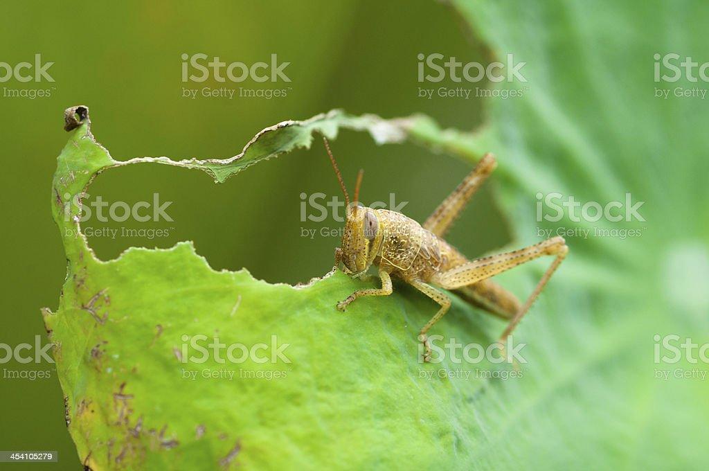 Grasshopper eating a leaf stock photo
