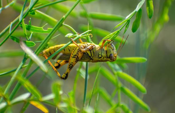 grasshopper eating leaves upside down stock photo
