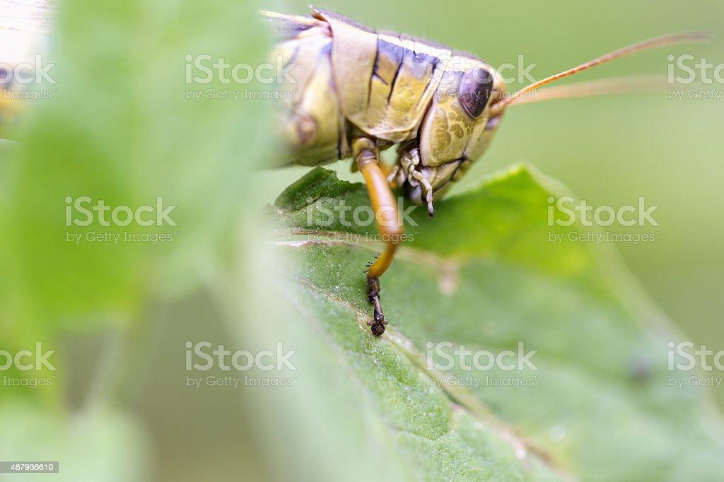 Grasshopper Eating on Tomato Plant stock photo