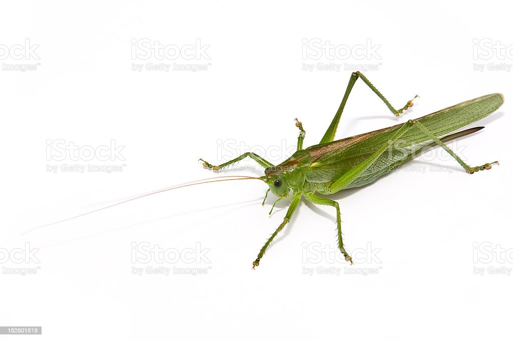 Grasshopper frontal royalty-free stock photo