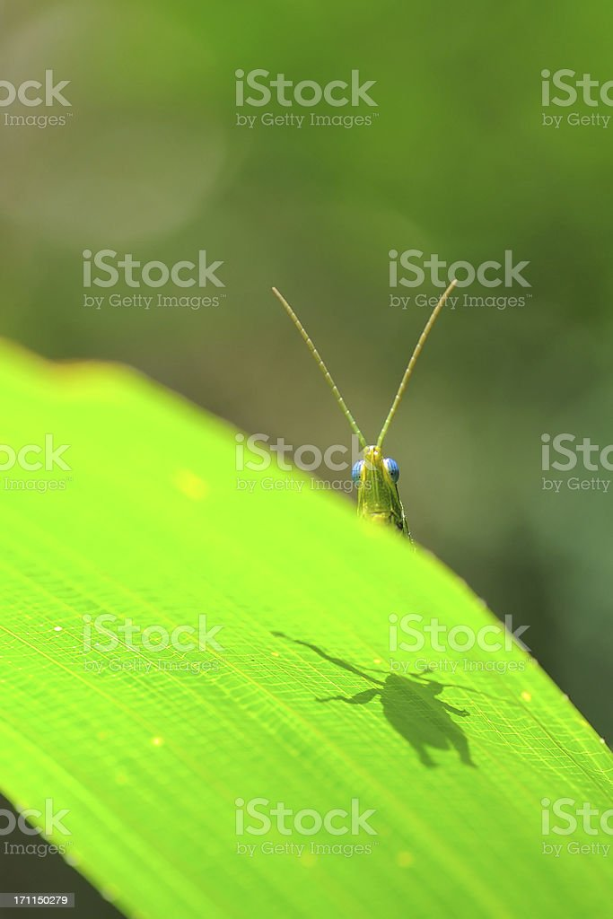 Grasshopper head and shadow on leaf royalty-free stock photo