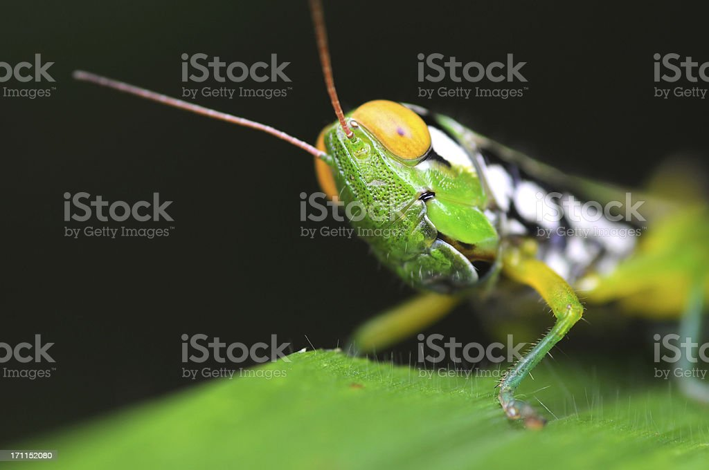 Grasshopper head close-up with yellow eye on leaf stock photo