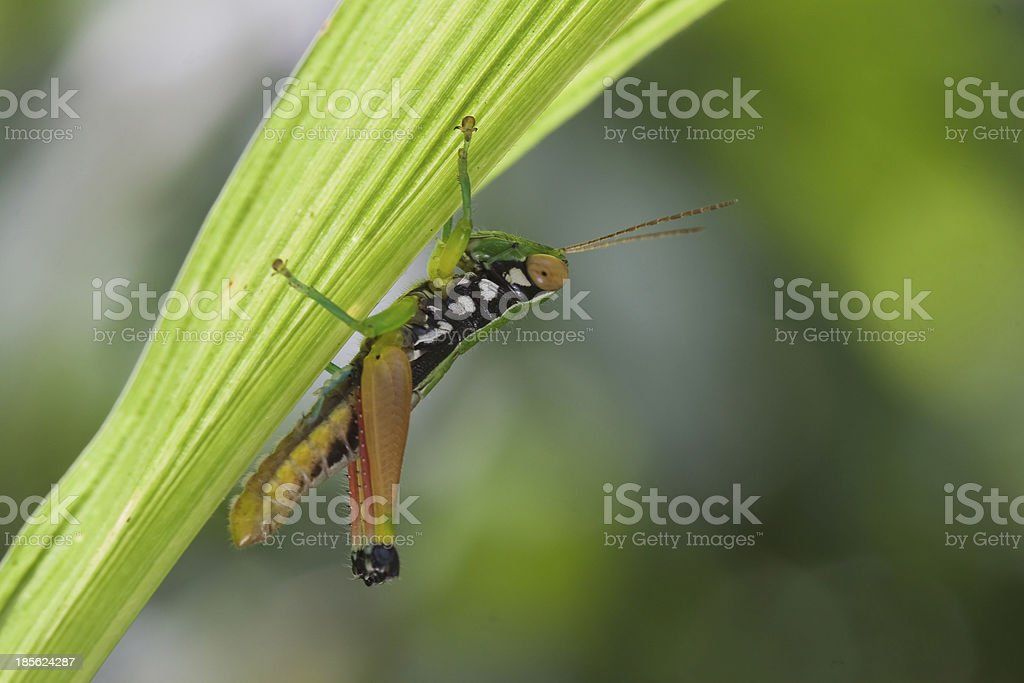 Grasshopper head hanging on the branches royalty-free stock photo