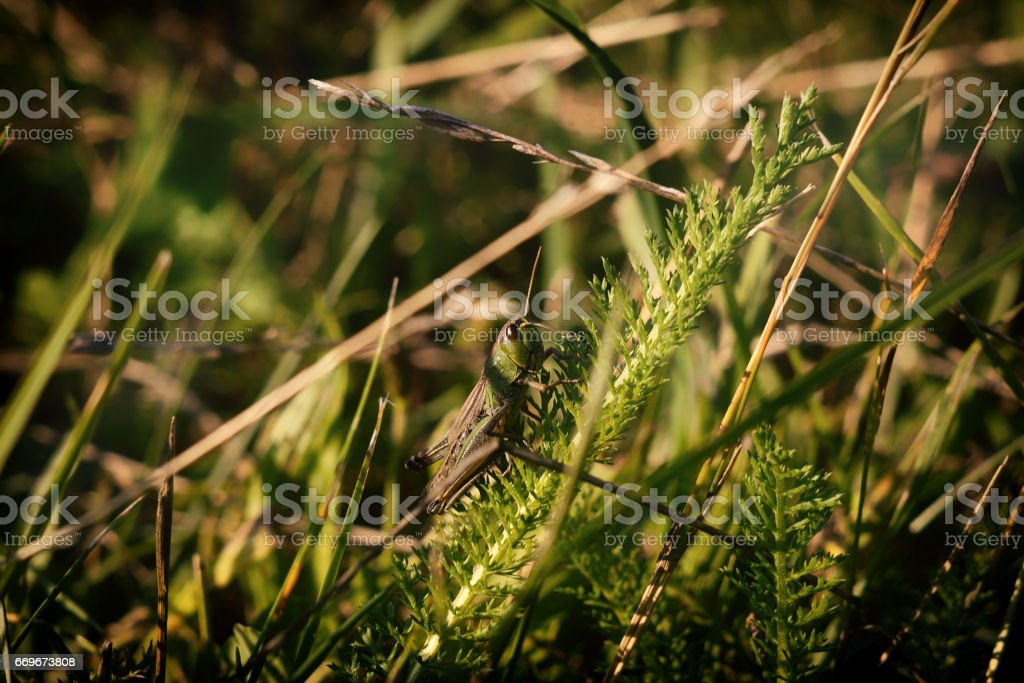 Grasshopper hiding in the grass. Slovakia stock photo