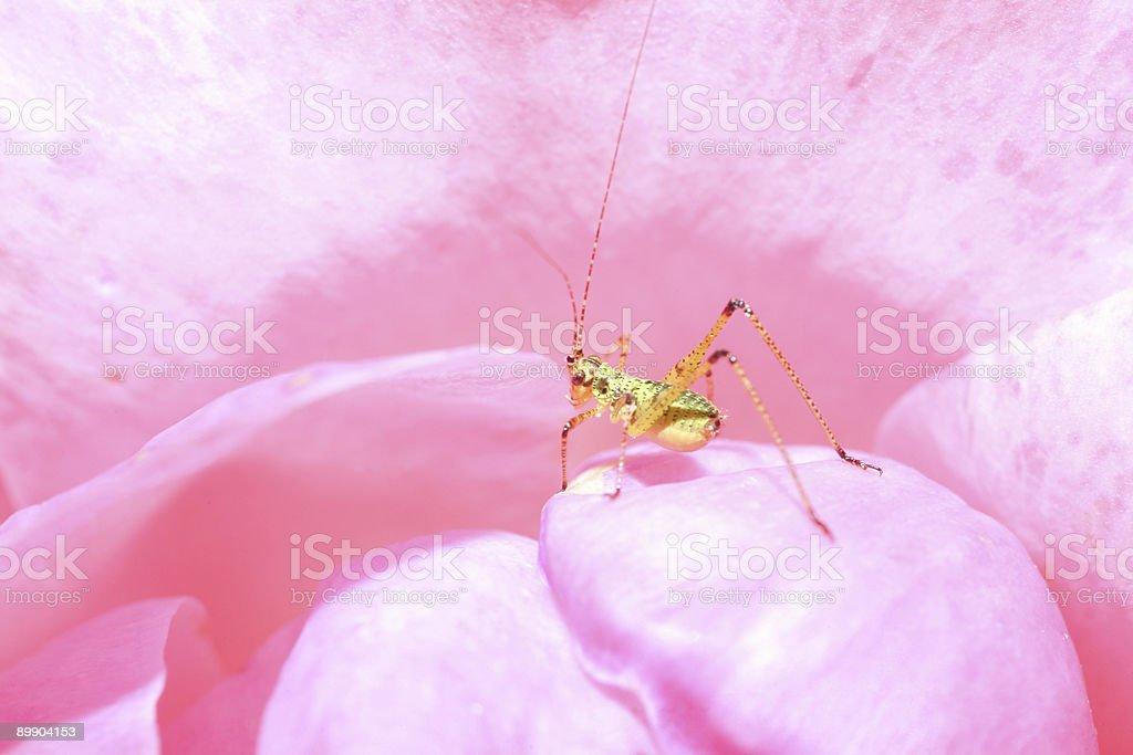 Кузнечик в розовый Стоковые фото Стоковая фотография