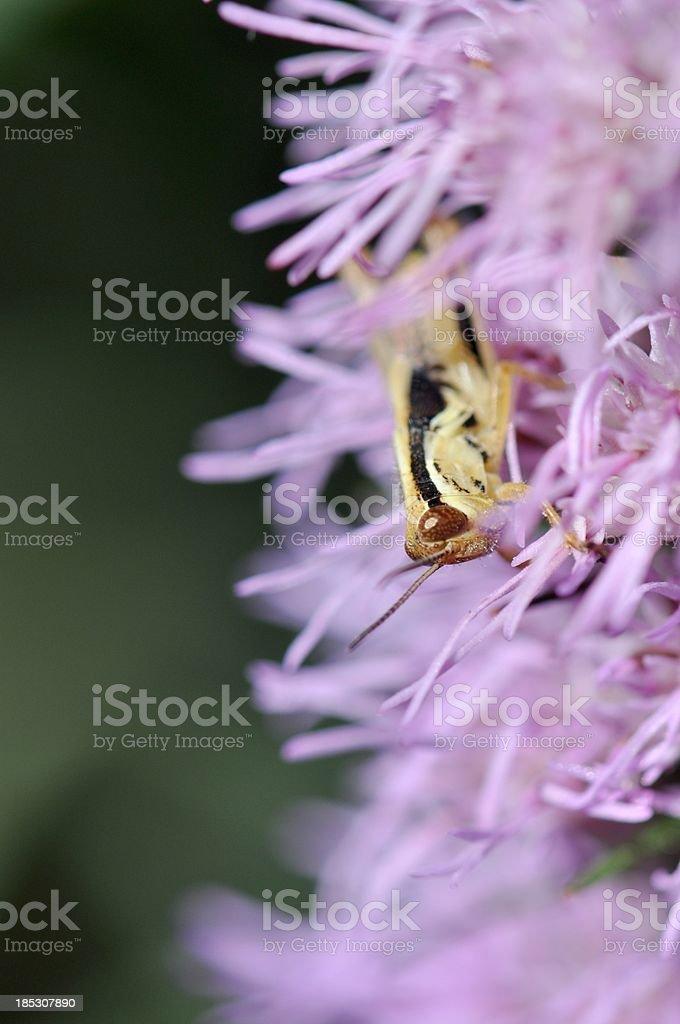 Grasshopper in Black Cohosh (Cimicifuga ramosa) stock photo