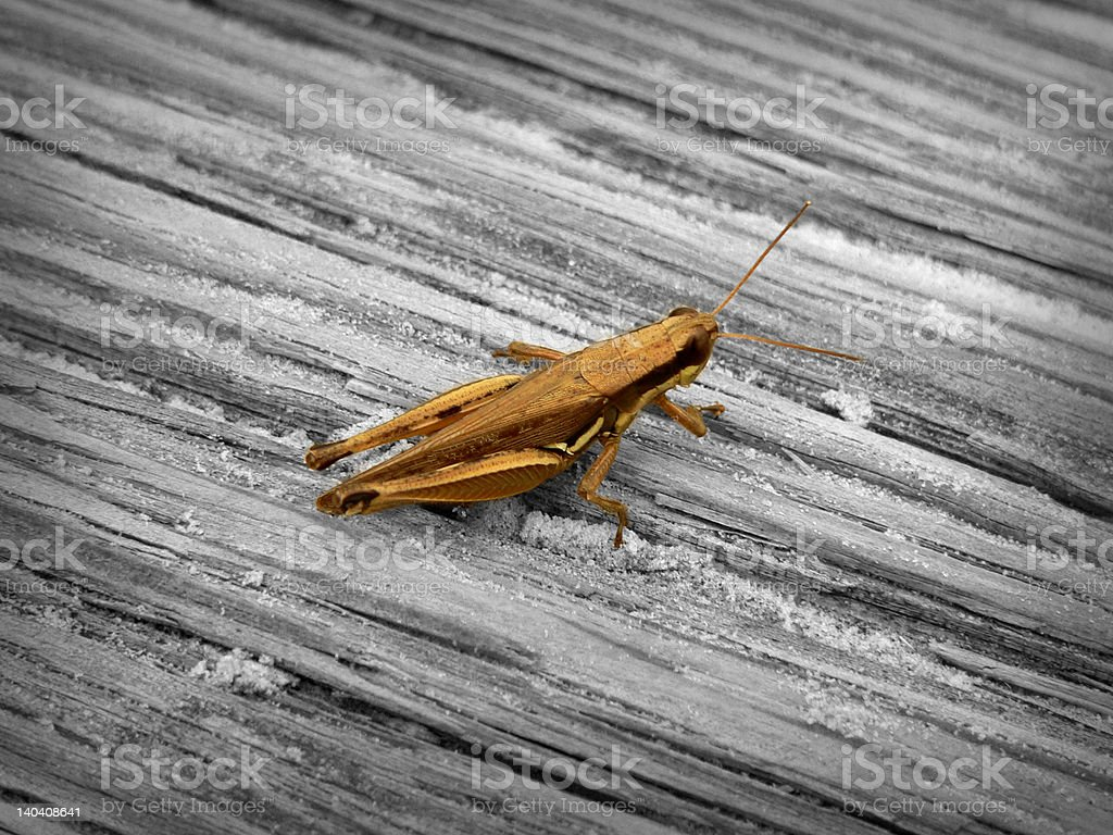Grasshopper in color royalty-free stock photo