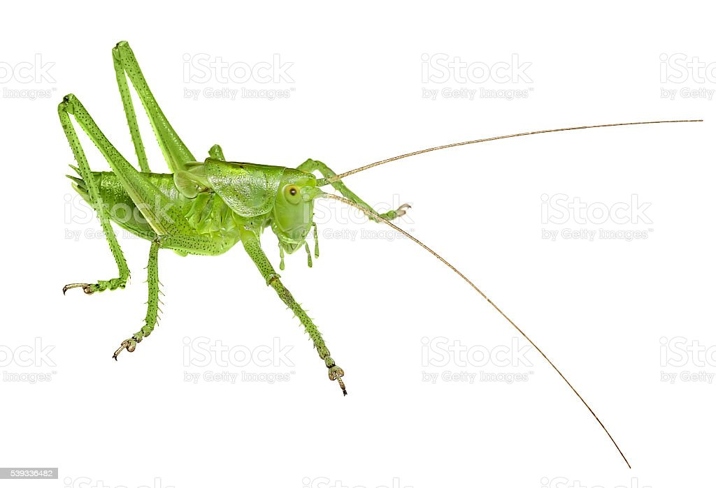 Grasshopper in front of isolated white background stock photo