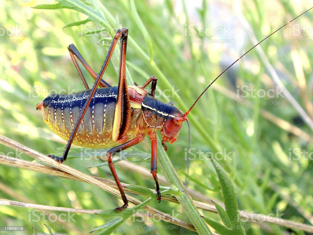 grasshopper in grass royalty-free stock photo