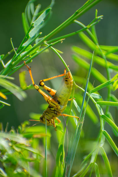 grasshopper in grass with leg up stock photo