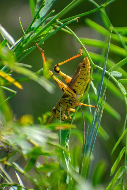 grasshopper in grasses stock photo
