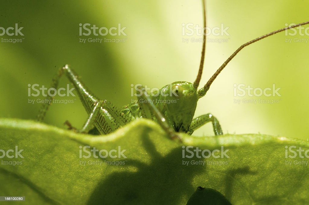 grasshopper in green grass royalty-free stock photo