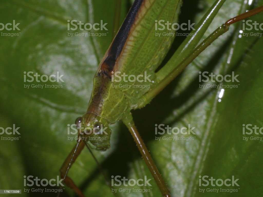Grasshopper in green nature royalty-free stock photo