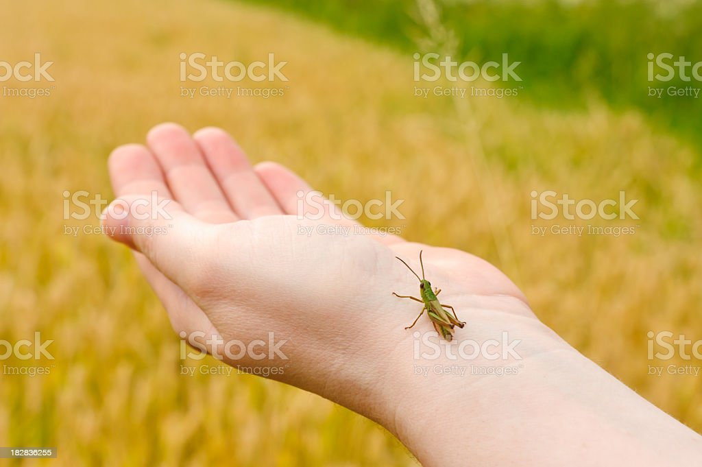 grasshopper in hand royalty-free stock photo