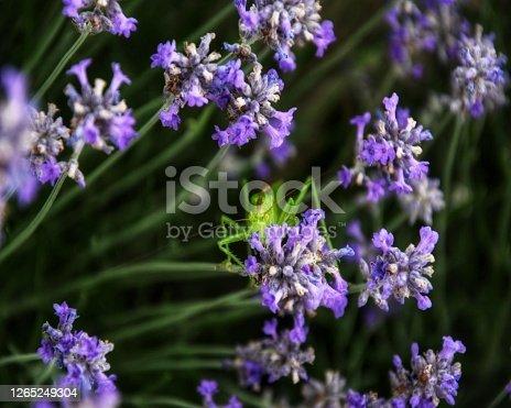 Little Grasshopper in lavender is hiden