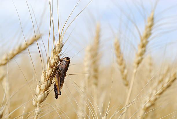 Grasshopper in Spring Wheat crop stock photo