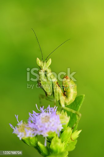 grasshopper, in thailand Southeast Asia
