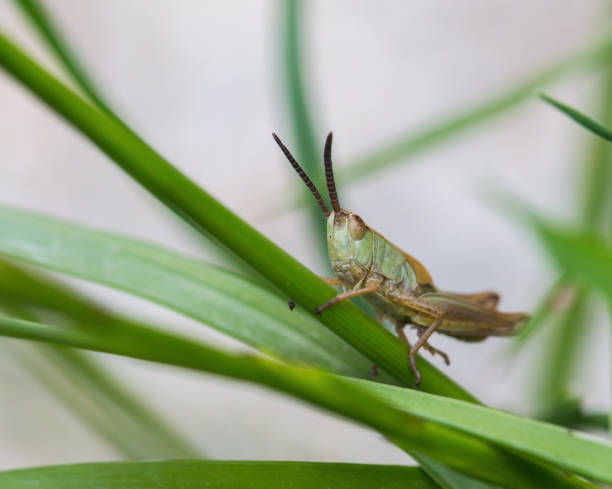 A grasshopper in the garden on a leaf stock photo