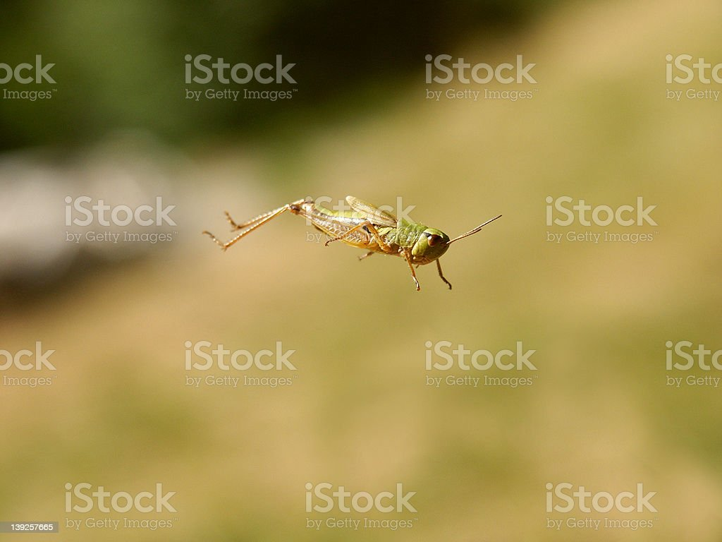 Grasshopper in the jump stock photo