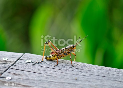 Called a southeastern landlubber, these colorful grasshoppers abound in Florida's Everglades. Selective focus, bokeh, horizontal, nobody.