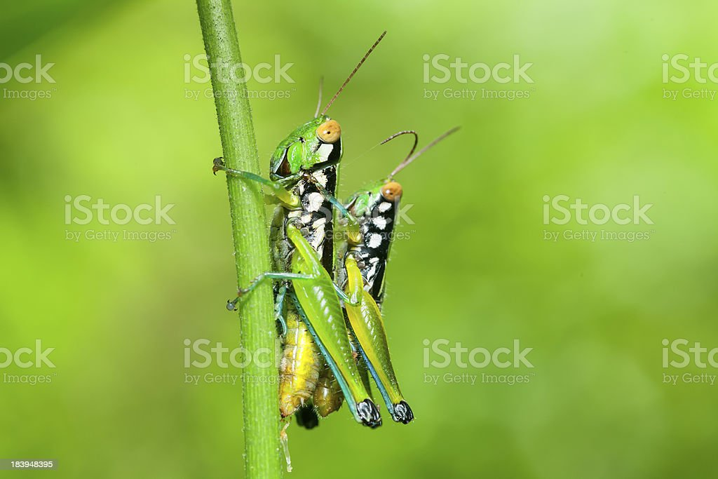 Grasshopper in the wild. stock photo