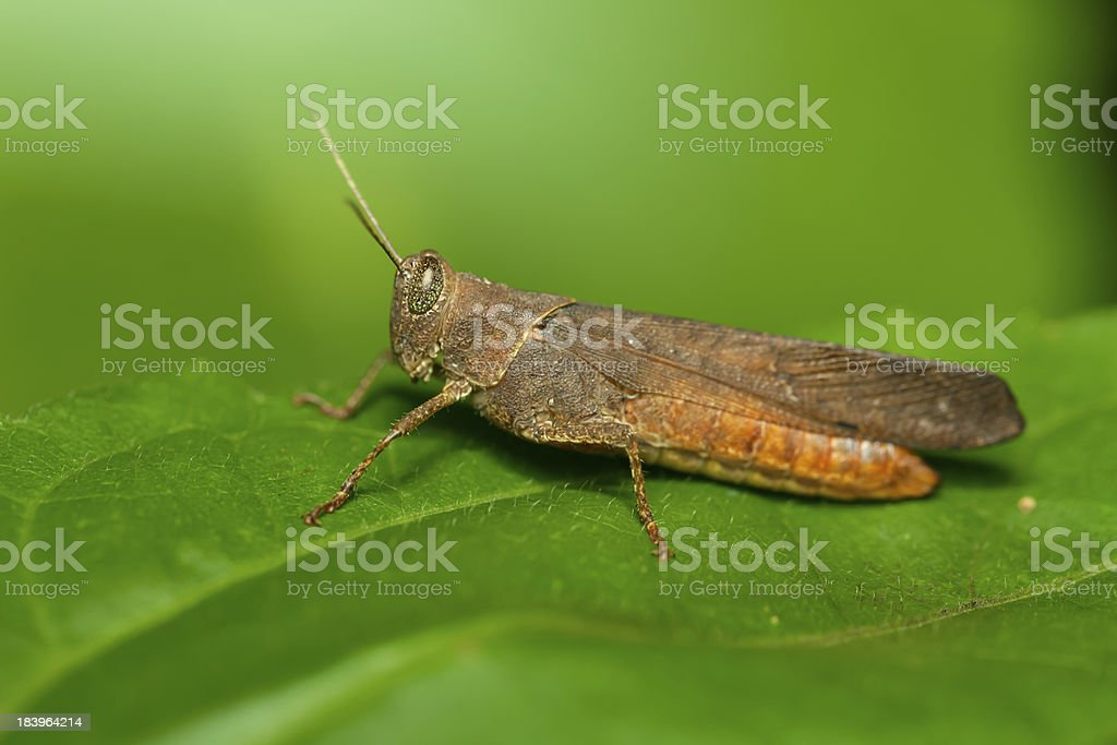 Grasshopper in the wild. royalty-free stock photo