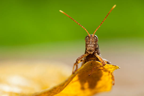 grasshopper in the wild. - locust swarm stockfoto's en -beelden