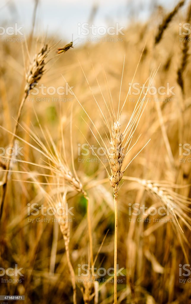 Grasshopper in Wheat field royalty-free stock photo