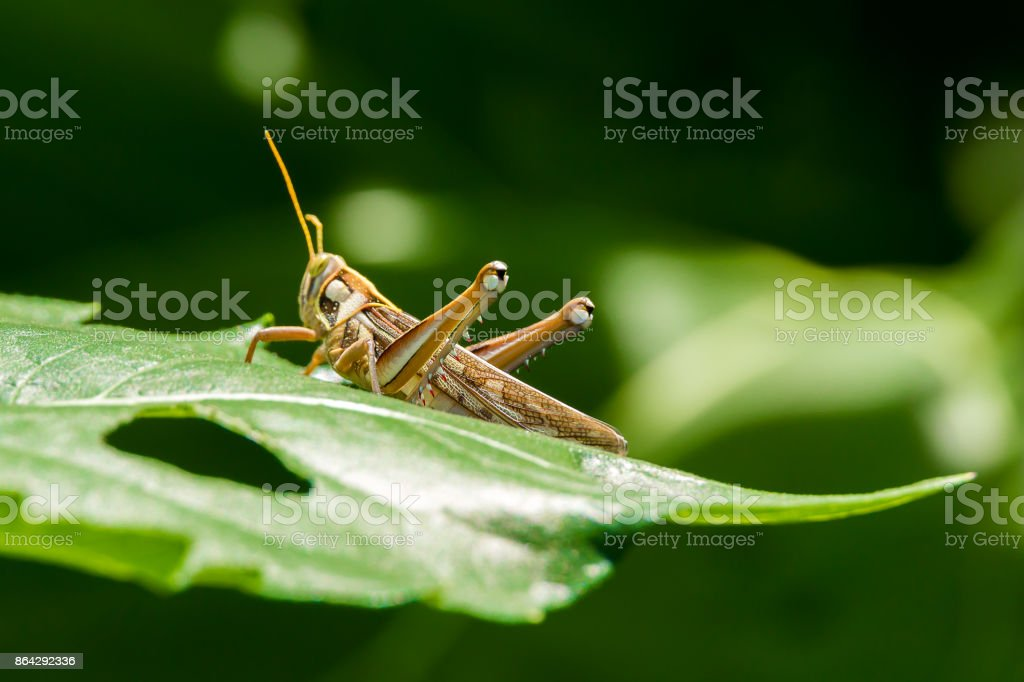 Grasshopper Insect Close Up Eating Green Plant Leaf royalty-free stock photo