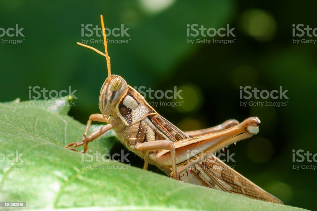 Grasshopper Insect Close Up Eating Green Plant Leaf stock photo