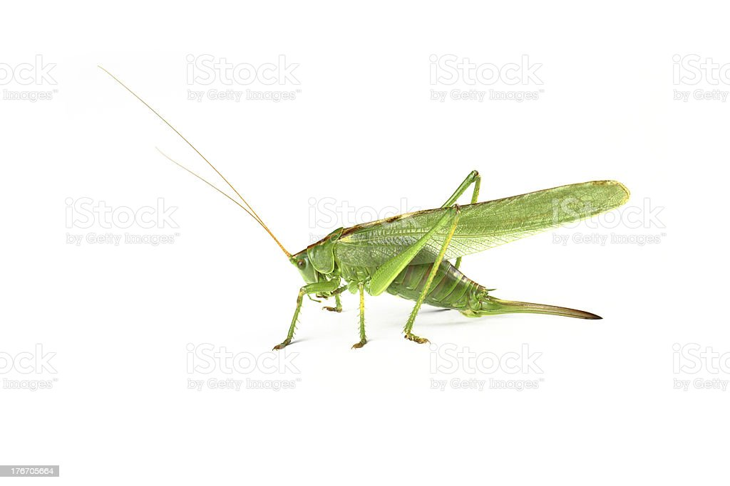 Grasshopper, insect isolated on white royalty-free stock photo