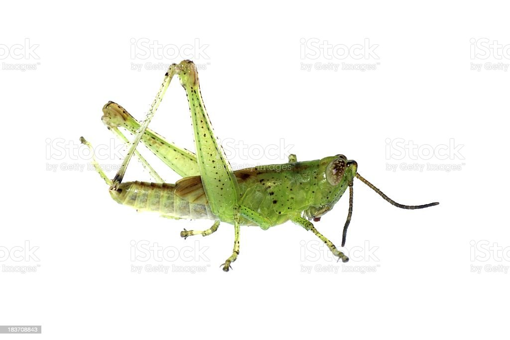 grasshopper insect royalty-free stock photo