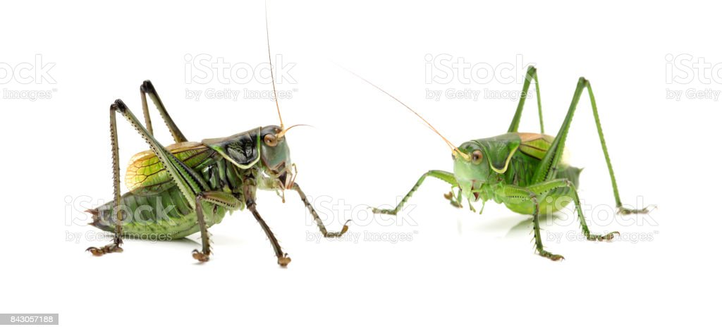 Grasshopper isolated  on a white background stock photo