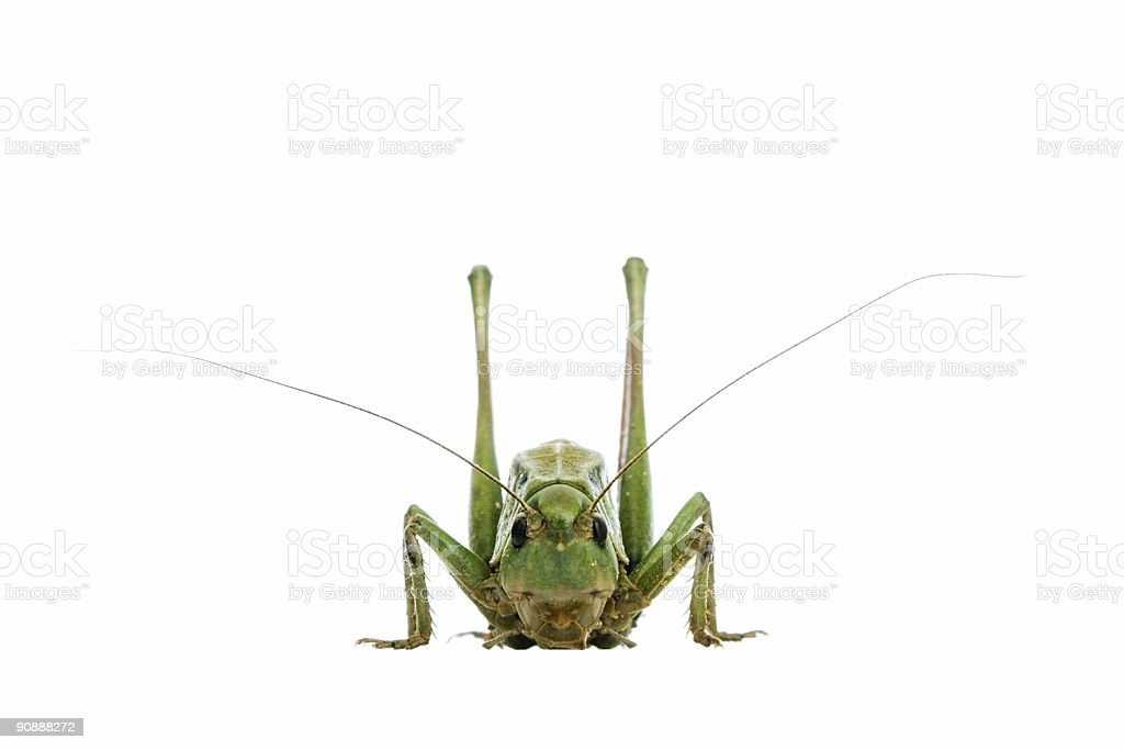 grasshopper isolated on white royalty-free stock photo